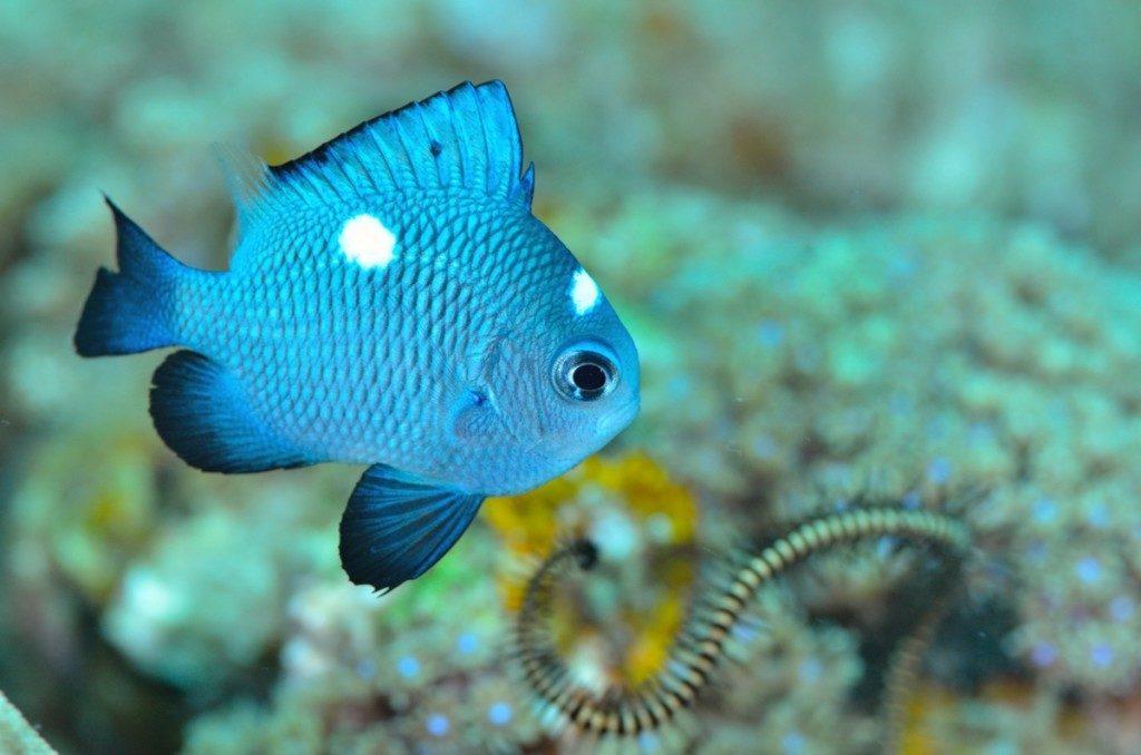 スズメダイの幼魚