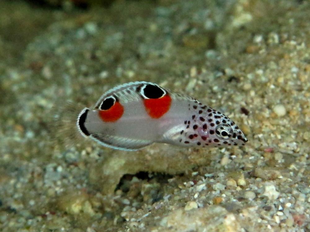 カンムリベラの幼魚