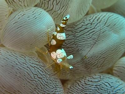 水玉サンゴとイソギンチャクモエビ