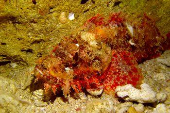水底に擬態する危険な魚 オニカサゴ