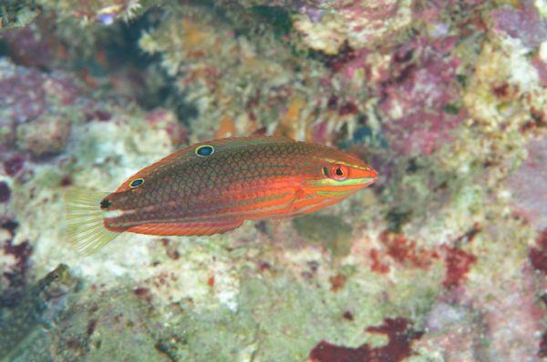 ニシキキュウセンの幼魚