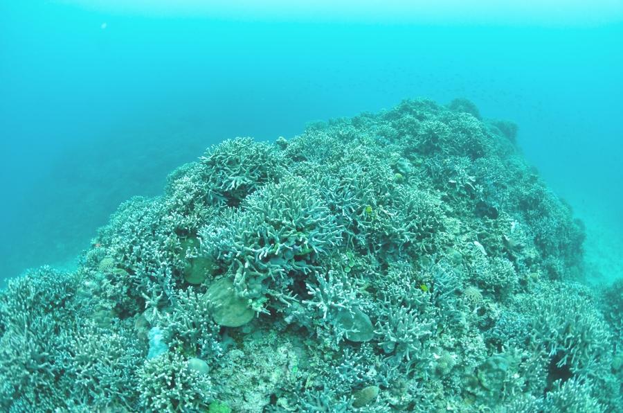 瀬底島 ユビエダハマサンゴ