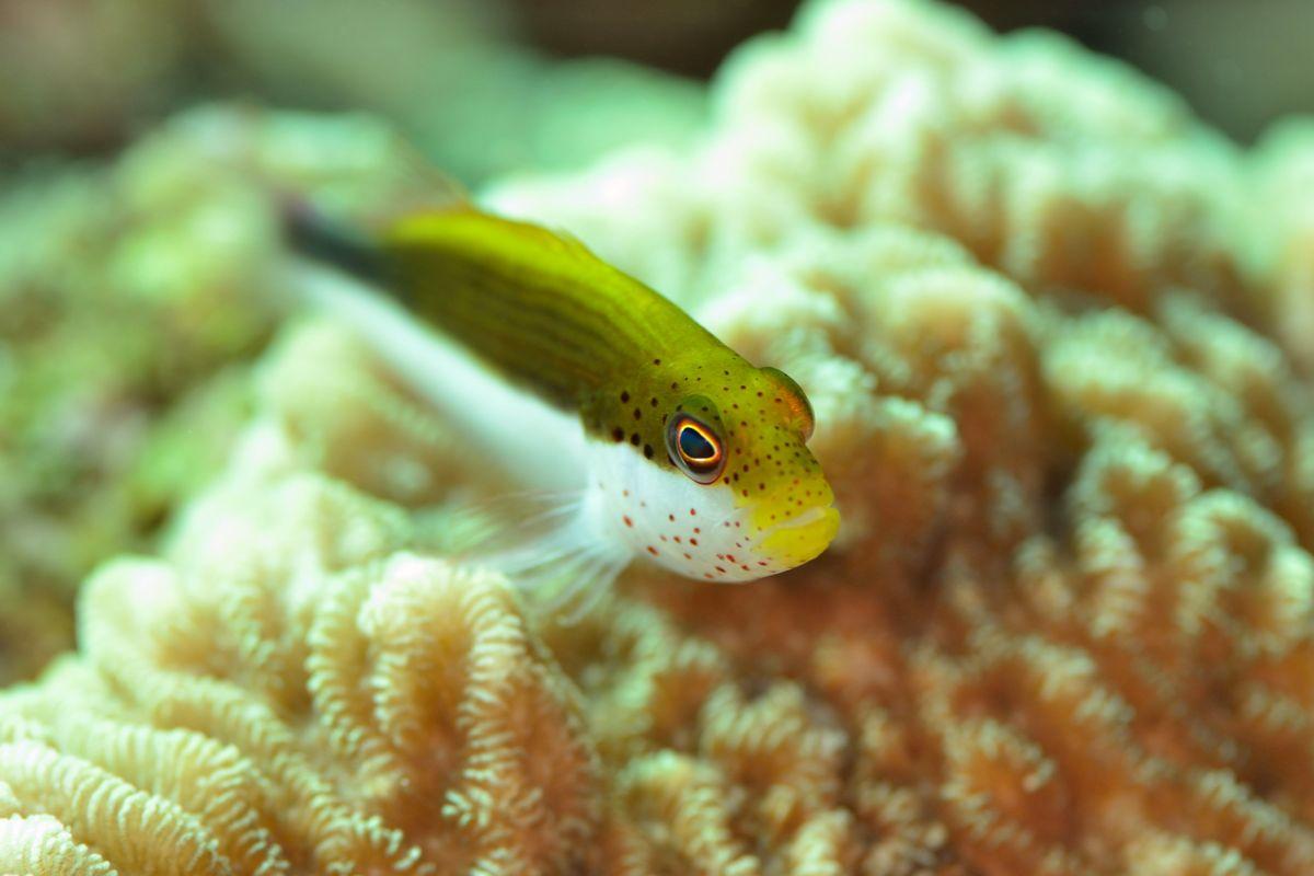 ホシゴンベ幼魚