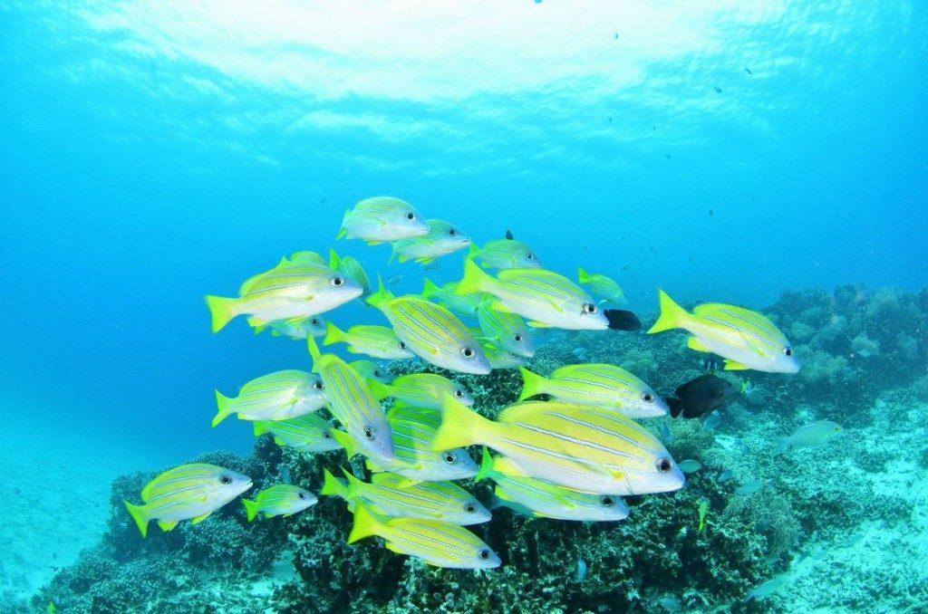 ヨスジフエダイの群れと珊瑚礁