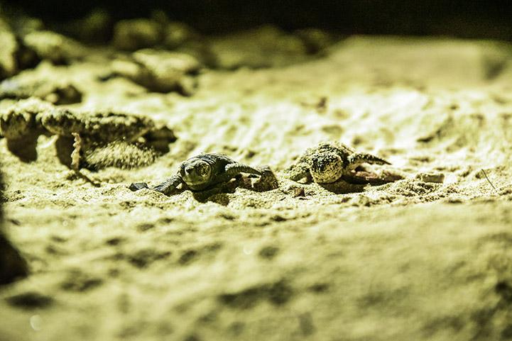 ウミガメの孵化