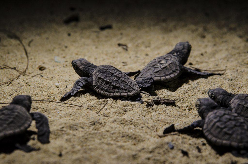 シークレットビーチの海亀の孵化