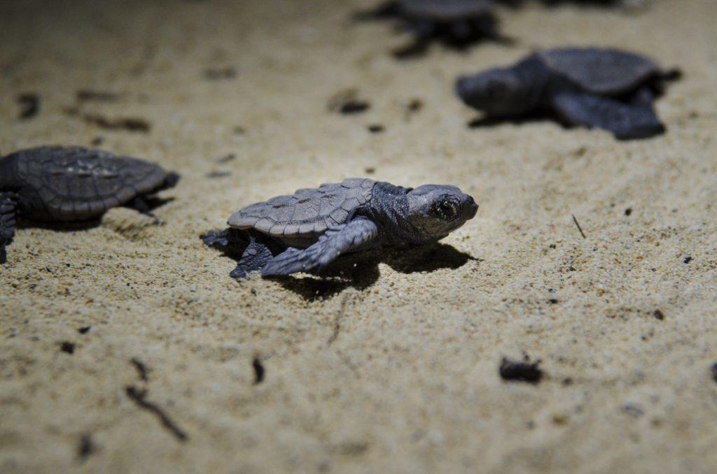 シークレットビーチ 海に向かう海亀の赤ちゃん