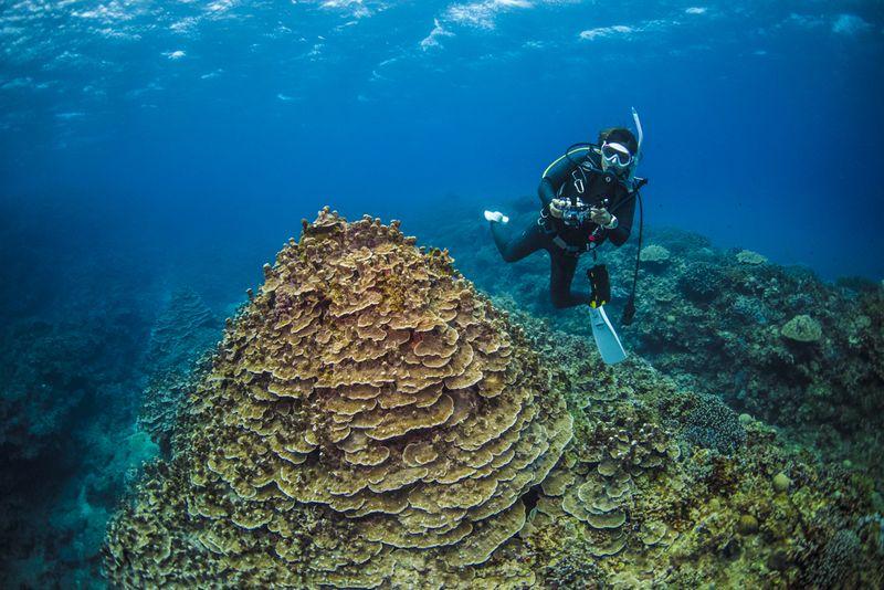 パラオハマサンゴとダイバー