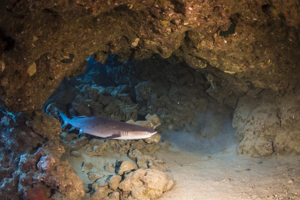 金武岬に棲むホワイトチップ