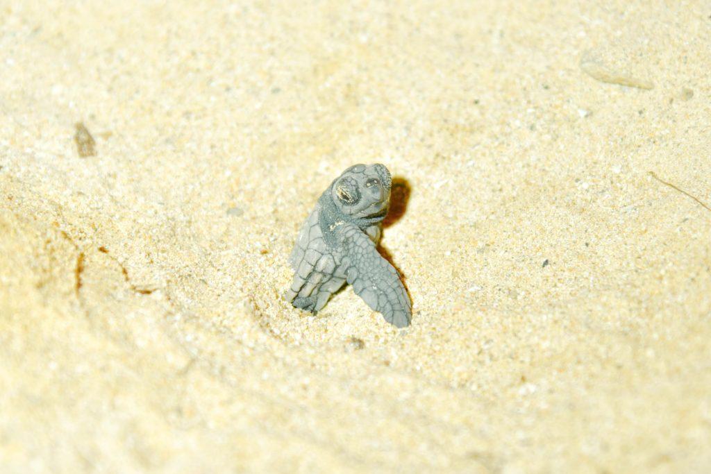 沖縄 恩納村のシークレットビーチ 今年も海亀の孵化