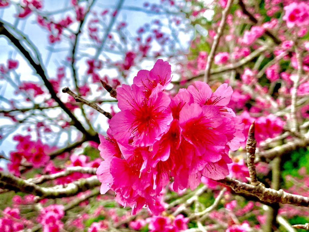 """""""日本一早咲き"""" の本部八重岳の桜祭に行ってきました!!"""