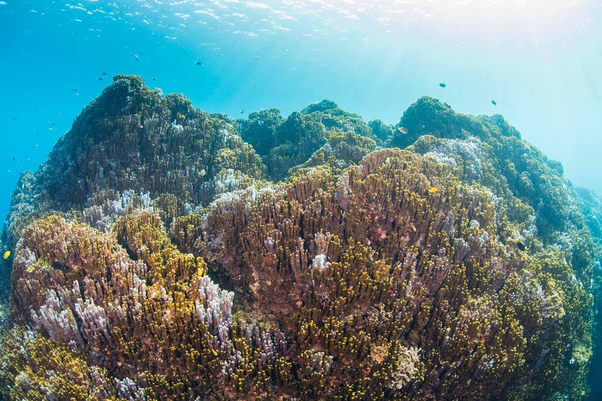 アオサンゴ・青珊瑚の群生