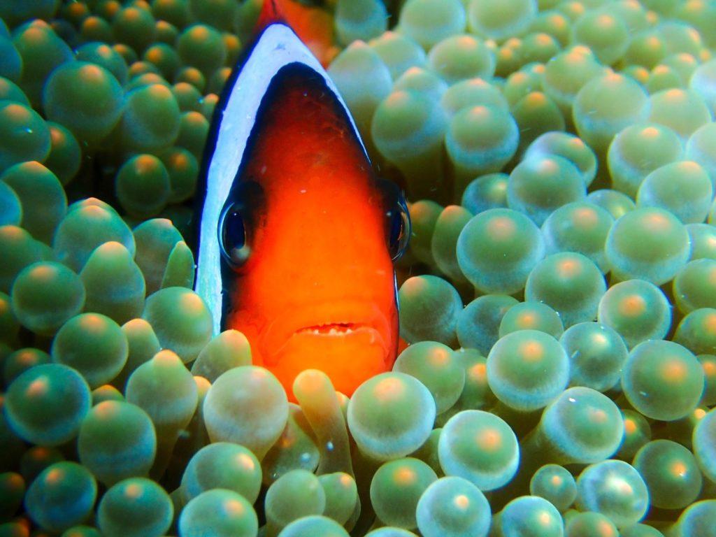 沖縄のアイドルFish   ハマクマノミ