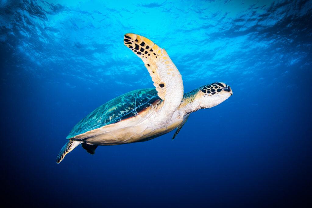 ウミガメの水中写真