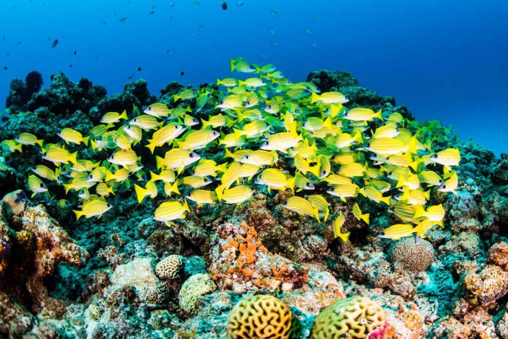水納島の魚達・ヨスジフエダイ